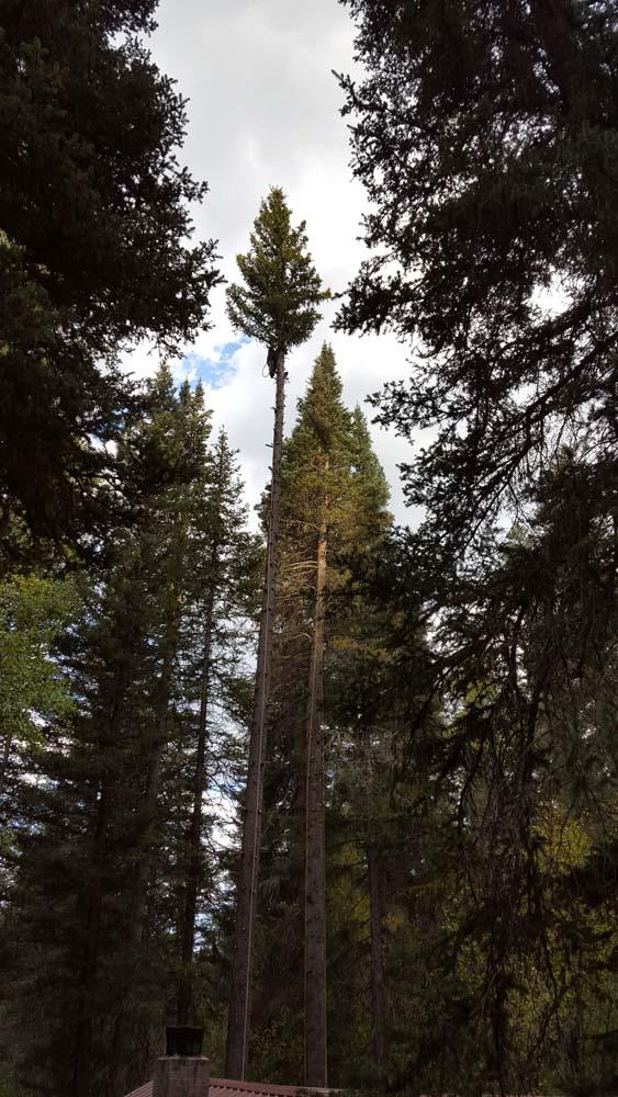 tall trees pruned