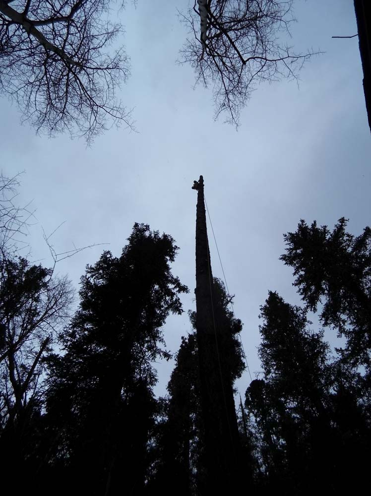 tall tree trunk
