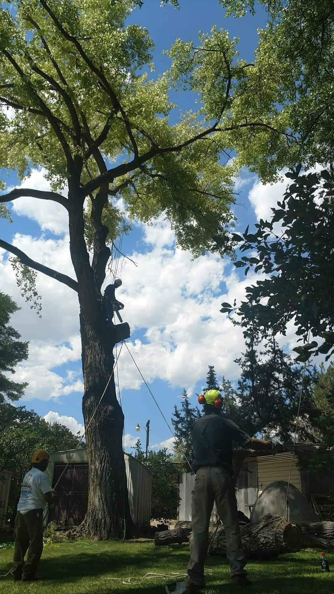 Men Trimming A Tree Down